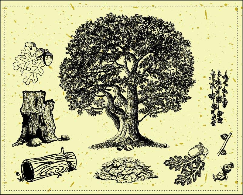 oaktree stock illustrationer