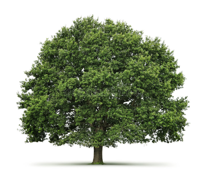 oaktree royaltyfria foton