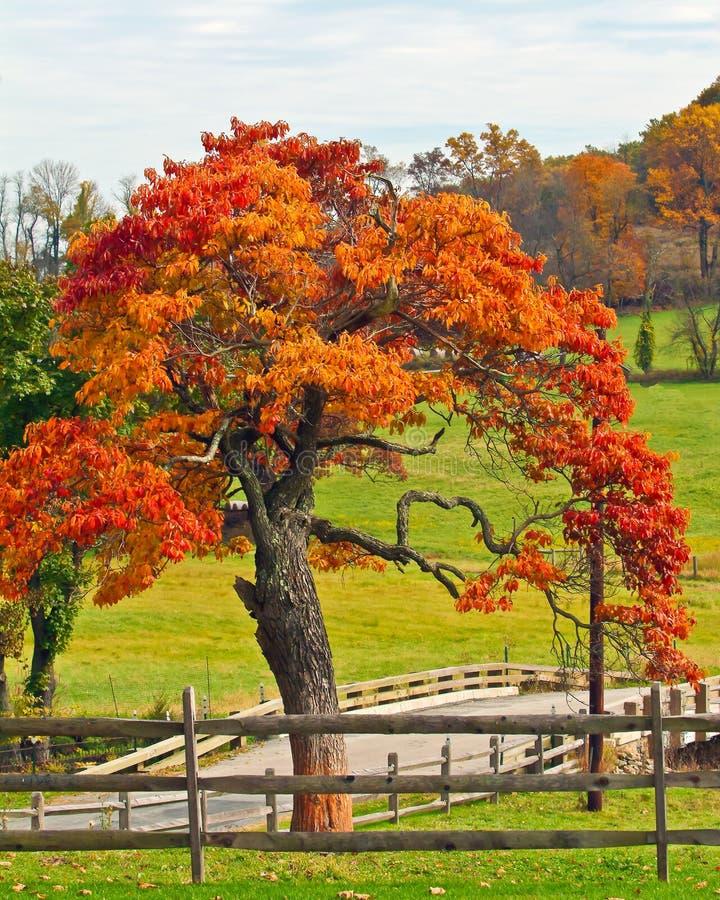 Oaktree i fall arkivfoton