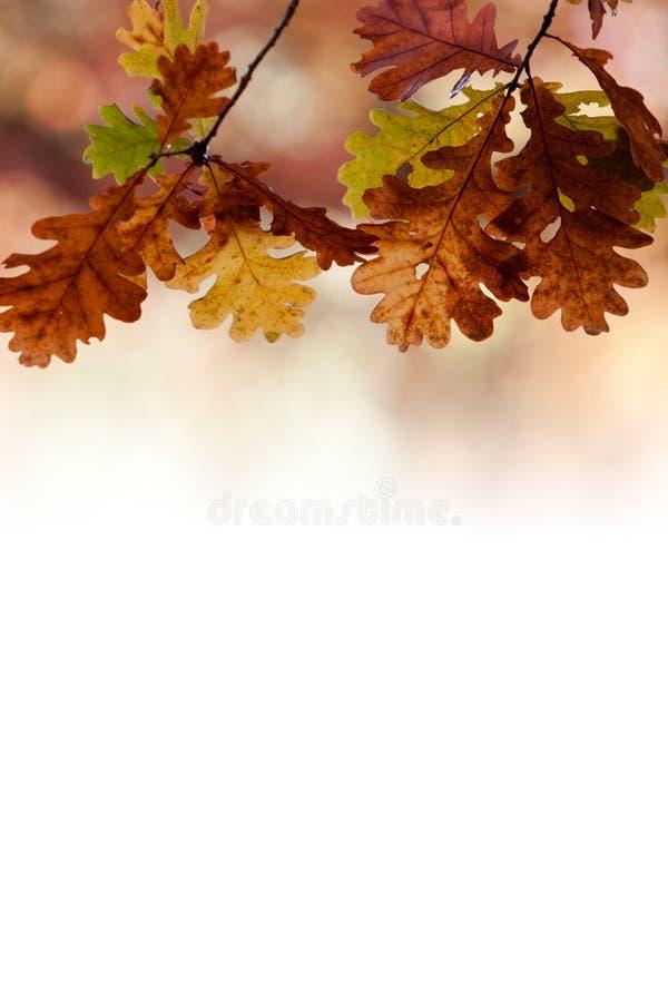 Download Oaktree i höst arkivfoto. Bild av skog, leaf, closeup - 27281616