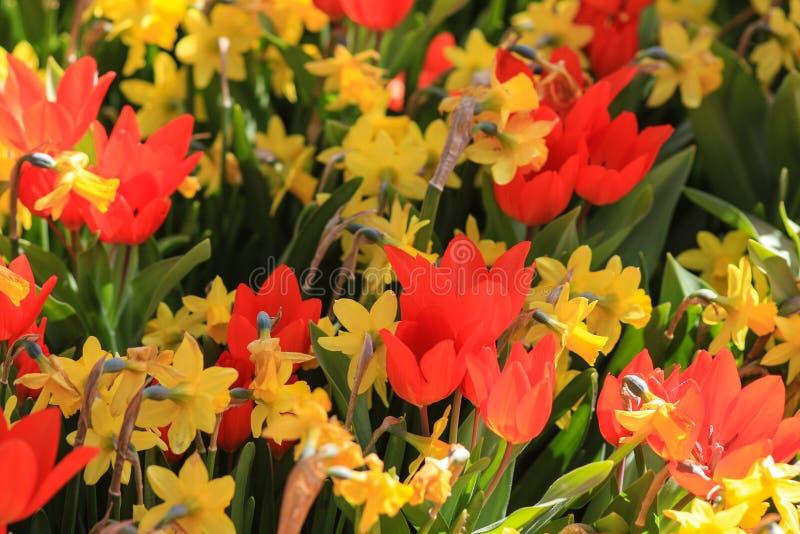 Oas av röda tulpan med gula påskliljor arkivbild