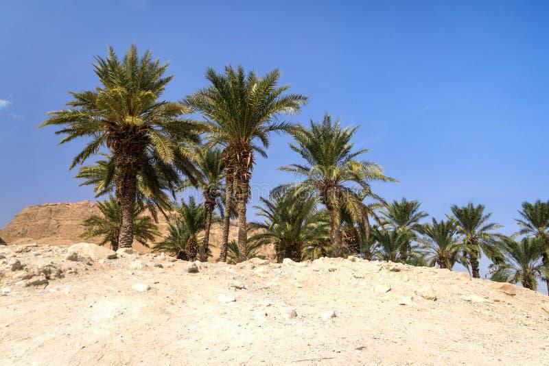 Oasi in deserto Boschetto delle palme in deserto selva Territorio abbandonato contro il cielo senza nuvole blu Bruciacchiatura sa fotografia stock