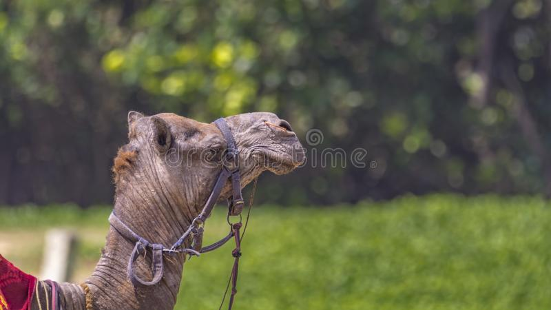 Oasis - as a camel sees it. Camel on a Green patch background, symbolizing the reach of oasis stock photo