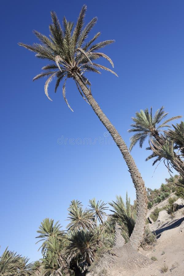 Oasis de las palmas datileras (Phoenix dactylifera). fotografía de archivo