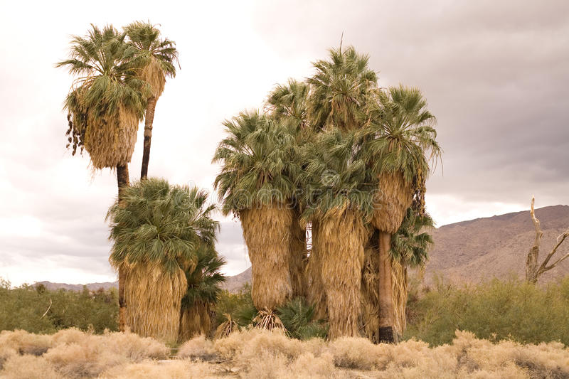 Download Oasis in a desert stock image. Image of palm, grove, wilderness - 12299923