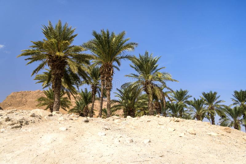 Oasis in desert. Palm trees grove in desert. Wilderness. Deserted territory against blue cloudless sky. Scorching sand and green stock photo