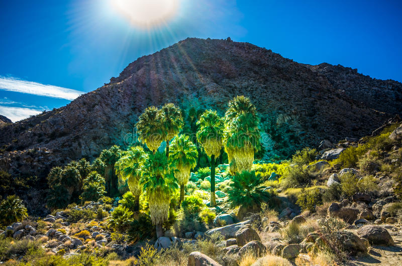 Oasis of Hope - Joshua Tree National Park - California. Just as a green oasis defies desert heat on Fortynine Palms Oasis trail in Joshua Tree National Park royalty free stock photos