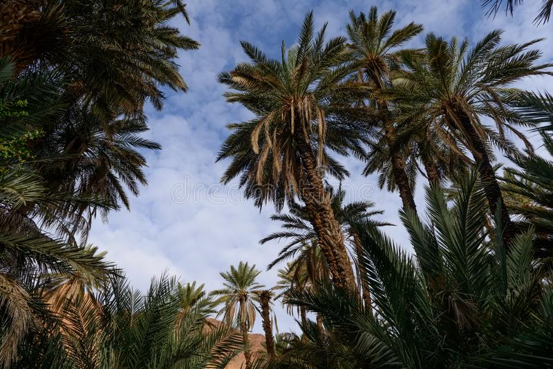 Palm trees at the oasis in Ouarzazate, Morocco royalty free stock image