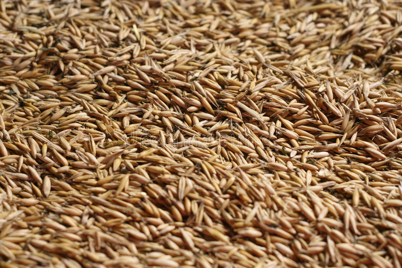 Oat royalty free stock photography
