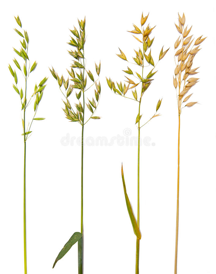 Free Oat Collection Stock Photo - 25872900