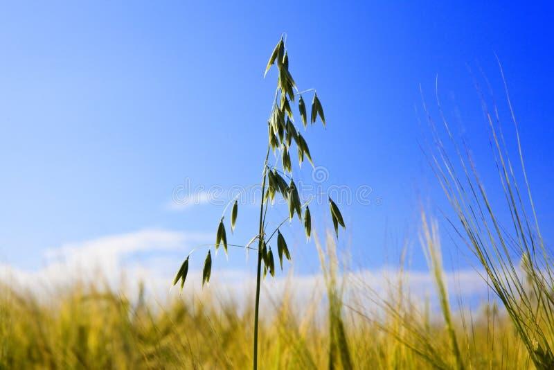 Download Oat Ear In Field On Background Of Dark Blue Sky Stock Image - Image: 14488391