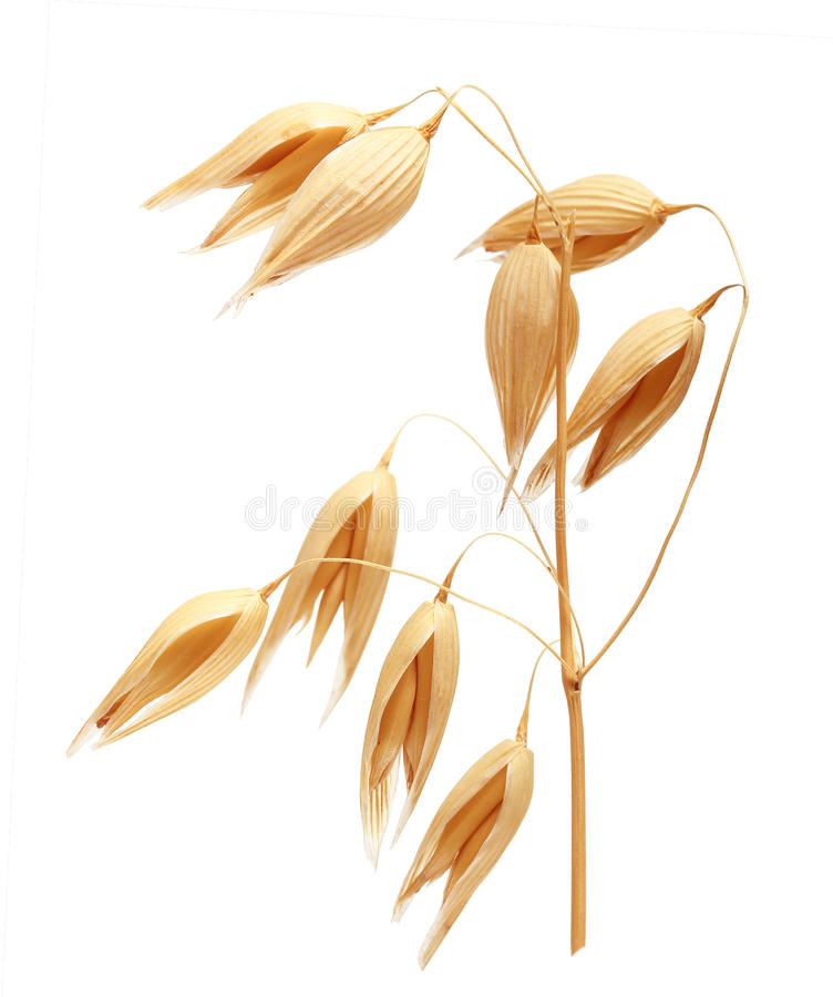 Free Oat Ears Of Grain Isolated Stock Photography - 74045862