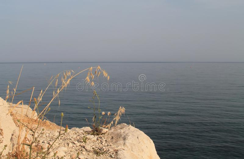 Oat ears on sea rock stock photography