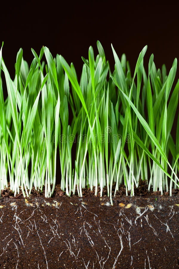Oat grass and roots royalty free stock photography