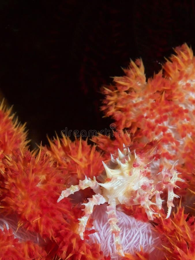 Oates& x27 μαλακό καβούρι κοραλλιών του s στοκ φωτογραφία