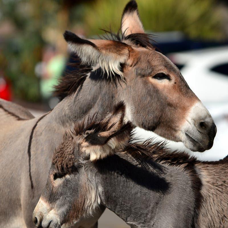 Oatman野生野生驮货驴子的  库存图片