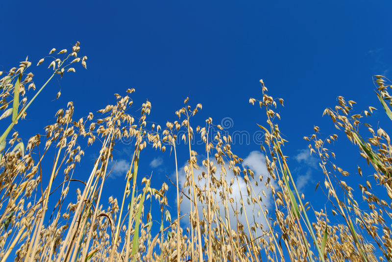 Download Oats on Blue Sky stock photo. Image of nature, puffy, agriculture - 6161072