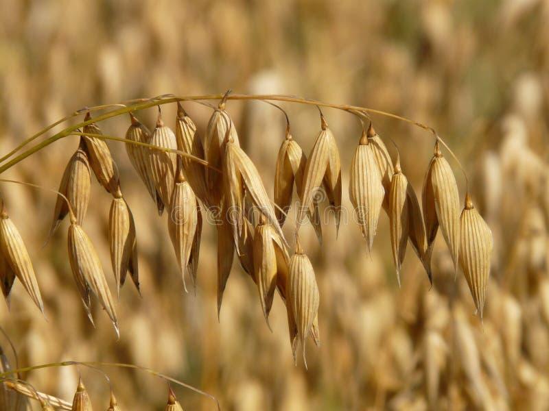 Oats crop stock image