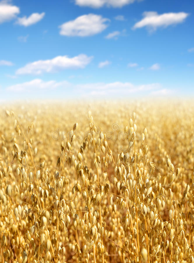 Download Oats field stock image. Image of grain, corn, industry - 33727609