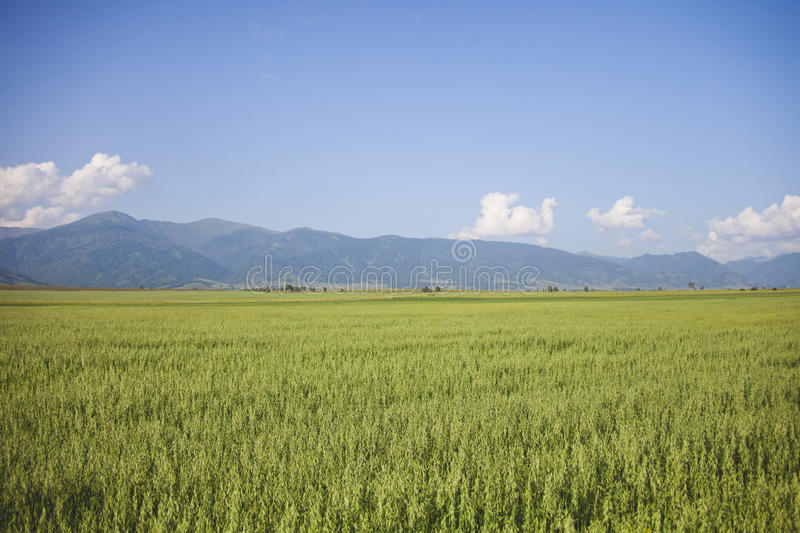 Oats field. Mountain Altai, Russia. Field with oats. Mountain Altai, Russia. Summer landscape stock photo