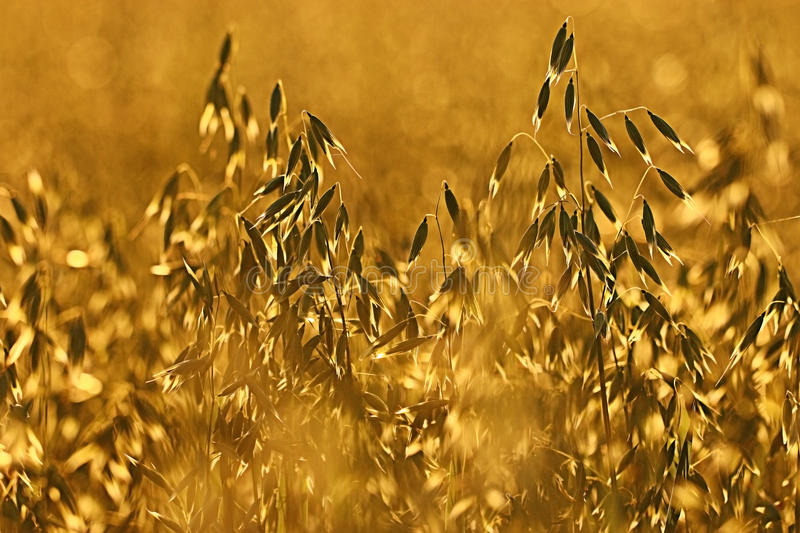 Oats at sunset texture stock photography