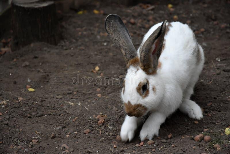 oavbrutet tjata white ett gulligt djur i lantgården Liten kanin arkivbilder