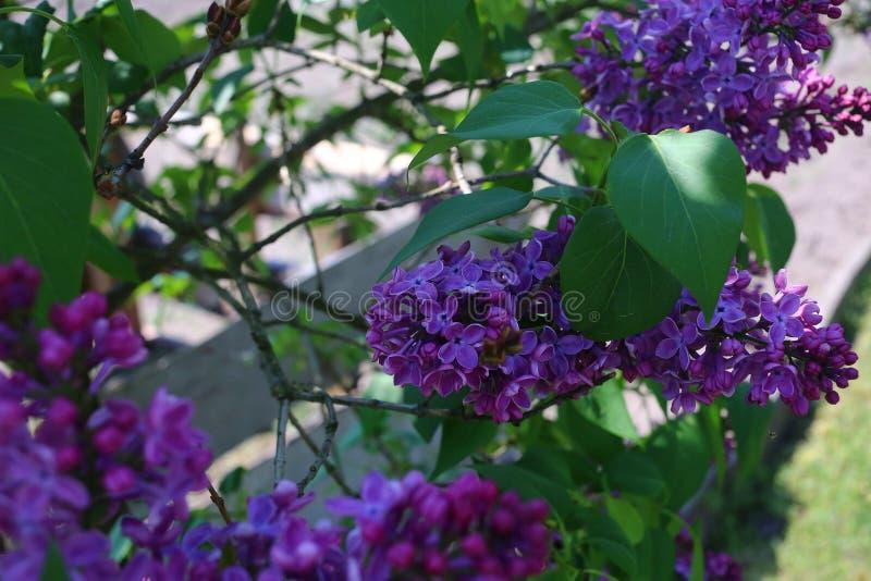 Oavkortad blom för fläderbärträd arkivfoto