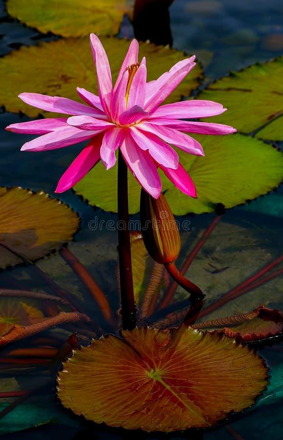 Oavkortad blom för hybrid- rosa näckros med en knopp i dammet royaltyfria bilder