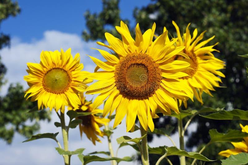 Oavkortad blom för jätte- solrosor arkivfoto