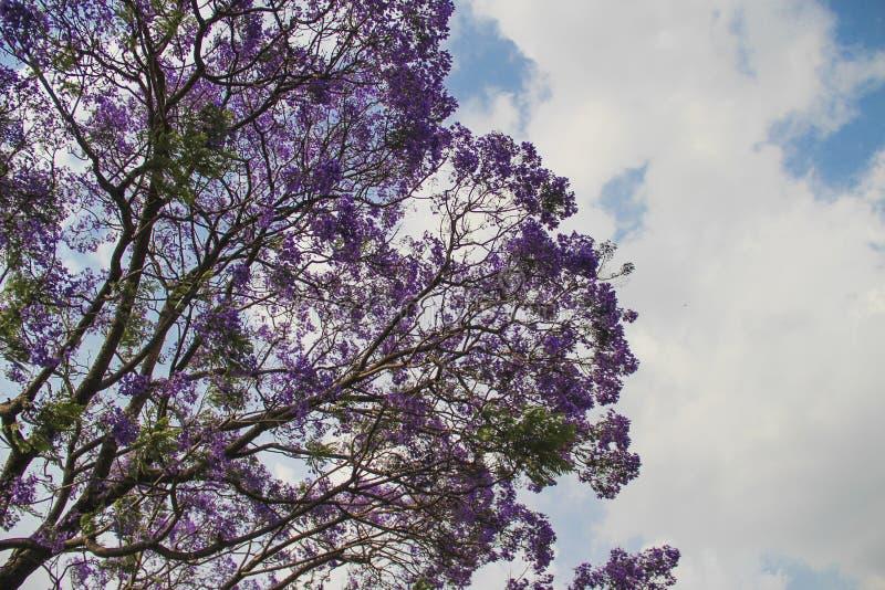 Oavkortad blom för jakaranda, Indien arkivfoton