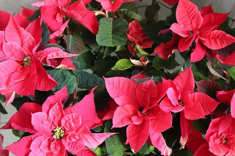 Oavkortad blom för julstjärnor royaltyfri fotografi