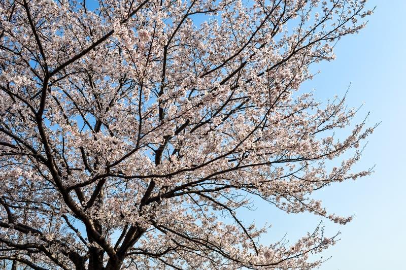 Oavkortad blom för körsbärblomningar på en fin vårdag arkivbilder