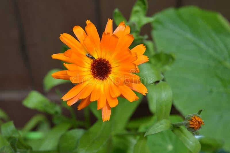 Oavkortad blom för ljus orange ringblommablomma arkivbilder