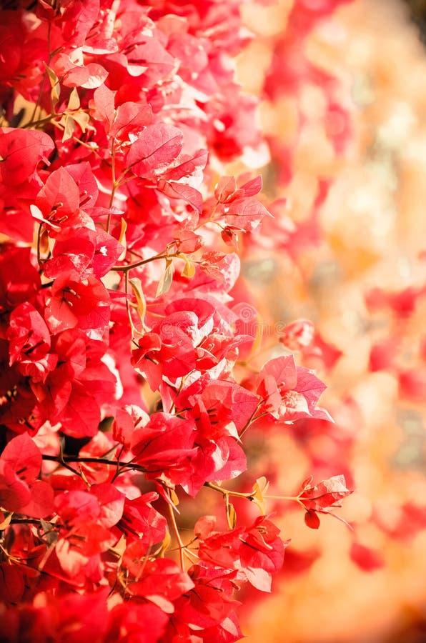 Oavkortad blom för nätt rosa färgrik bougainvillea med den mjuka bakgrunden royaltyfri bild