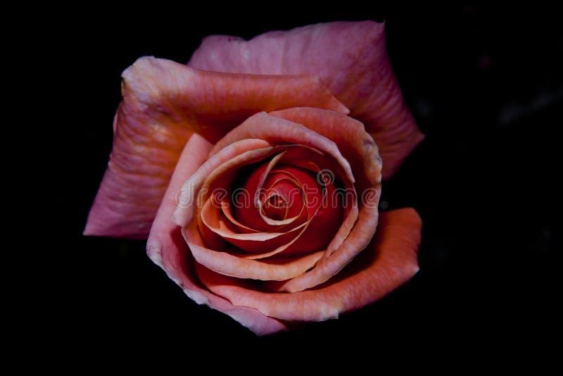 Oavkortad blom för rosa färgros royaltyfri bild