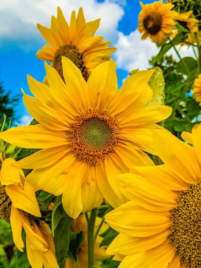 Oavkortad blom för solros i fält av solrosor royaltyfria foton