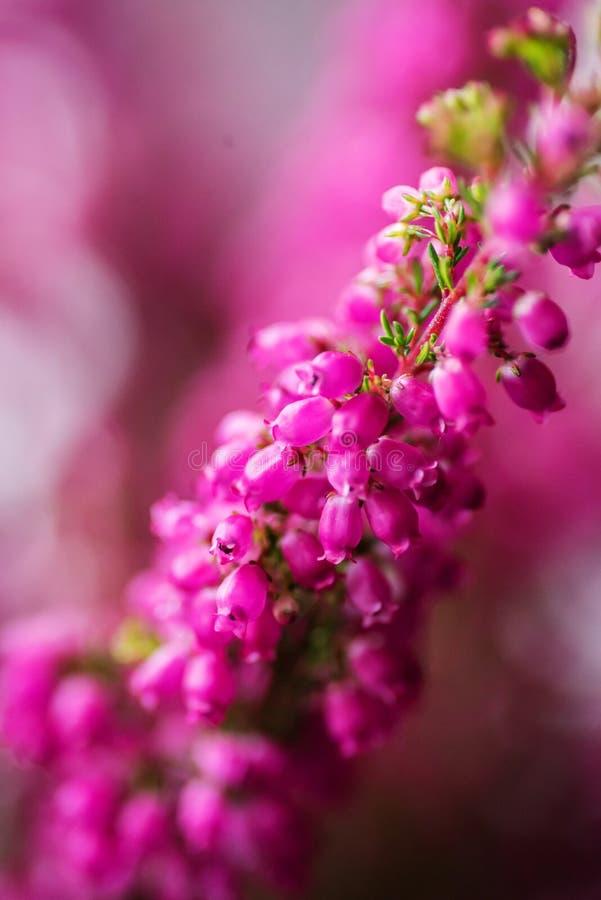 Oavkortad blomning Erica för gracilis vinterljung, closeup arkivbilder