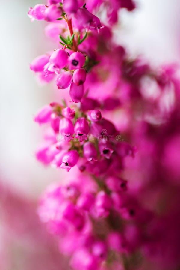 Oavkortad blomning Erica för gracilis vinterljung, closeup fotografering för bildbyråer
