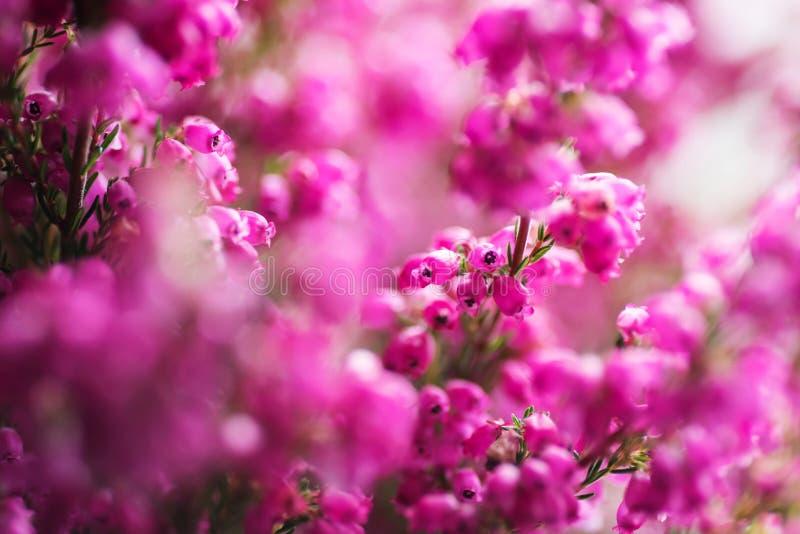 Oavkortad blomning Erica för gracilis vinterljung, closeup arkivfoton