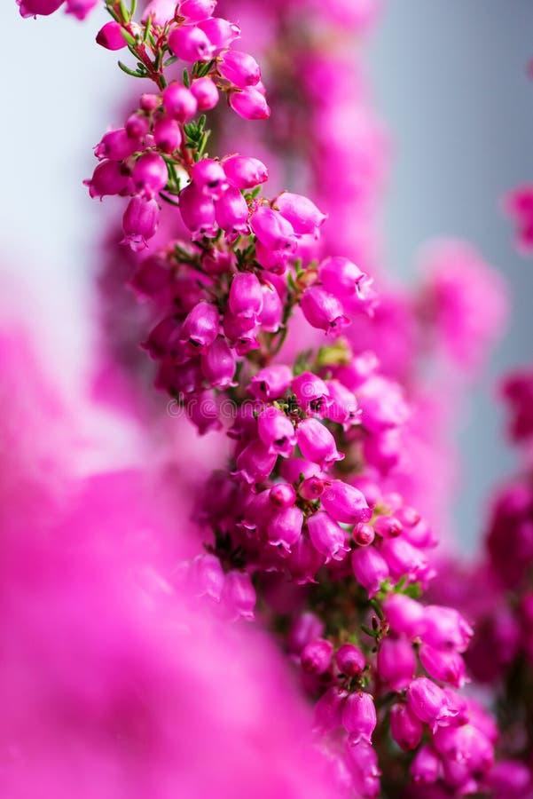 Oavkortad blomning Erica för gracilis vinterljung, closeup royaltyfria bilder