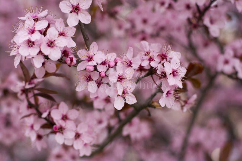 Oavkortad blomning för körsbärsrött träd i vårtid royaltyfri fotografi