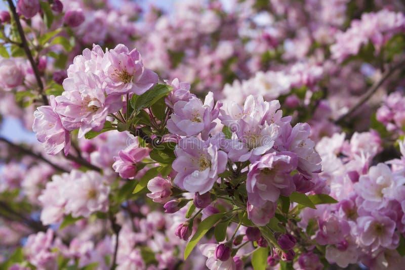 Oavkortad lövverk för Apple träd med blommor royaltyfri foto
