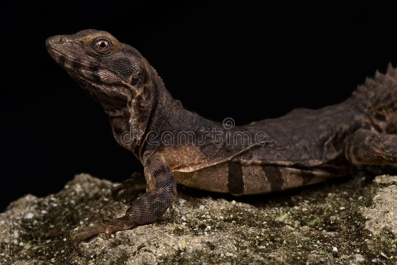 Oaxacan spiny-tailed iguana Ctenosaura oaxacana. The Oaxacan spiny-tailed iguana Ctenosaura oaxacana is a critically endangered reptile species royalty free stock photography