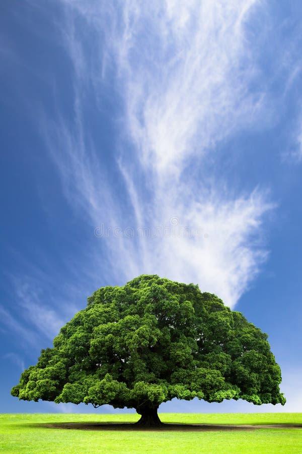 obłocznego wzgórza stary drzewo zdjęcie royalty free