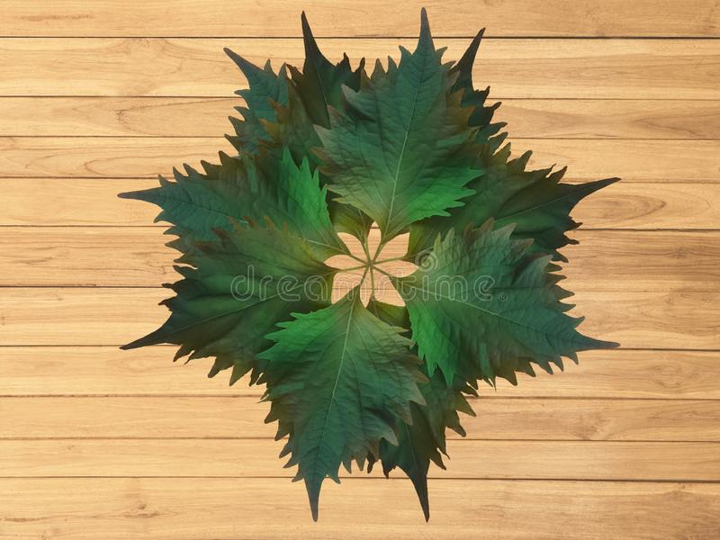 Oba leaves on wooden boards. Decorative Oba leaves placed on brown wooden boards royalty free stock images