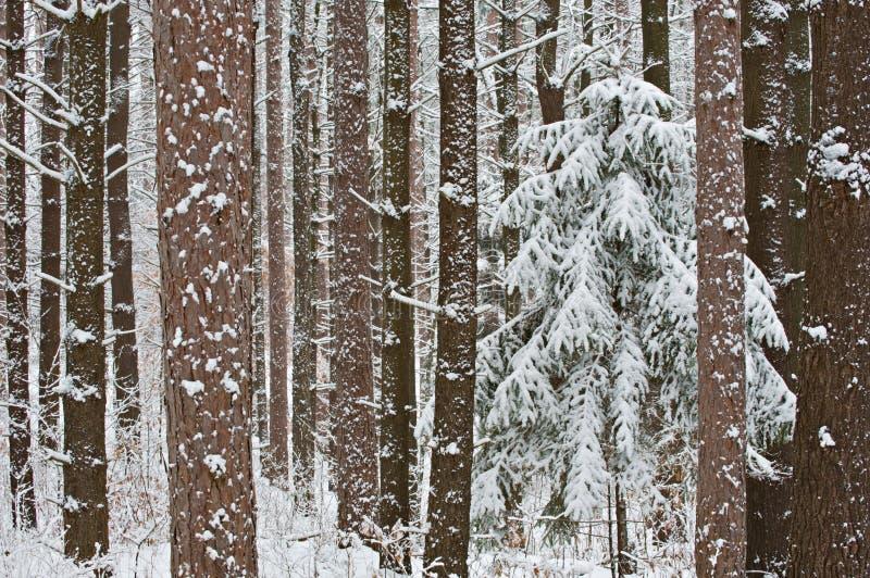 obciążony puszczy śnieg zdjęcia stock
