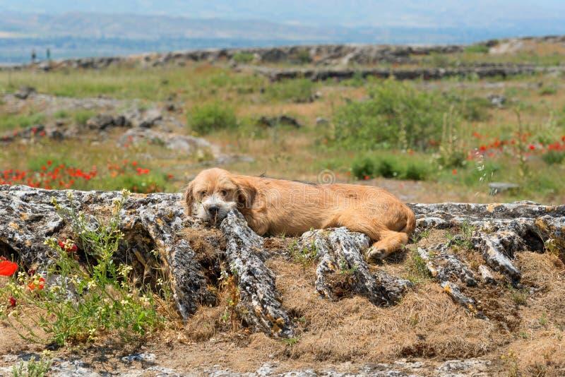 Obdachloser Hund, der in der Landschaft in der Türkei liegt stockbilder
