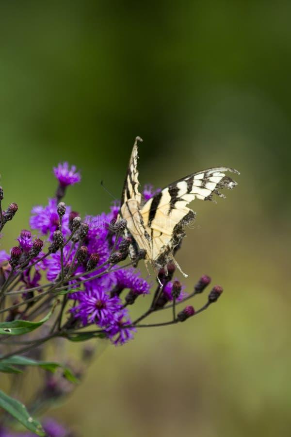 Obdarty tygrysi swallowtail na purpura kwiacie fotografia stock