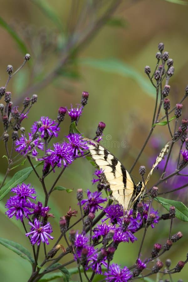 Obdarty tygrysi swallowtail na purpura kwiacie zdjęcia stock