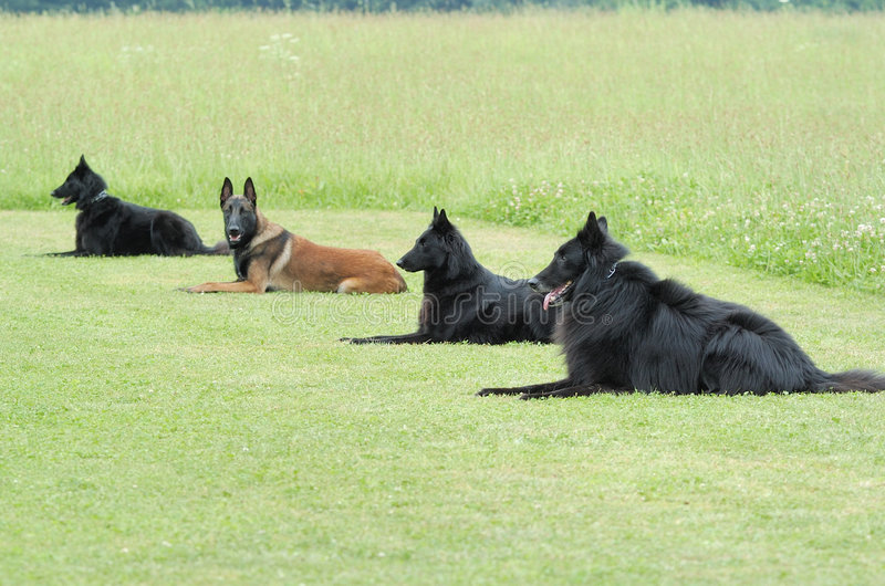 Obedience. Practice with four belgian shepherd royalty free stock photo